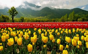 Srinagar Tulip Garden Tourism Packages